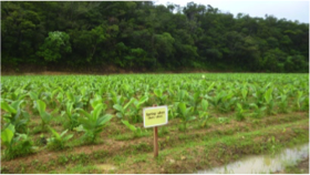 coltivazione ukon